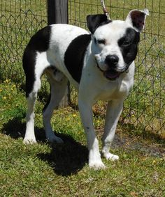 Rocky - URGENT - Carteret County Humane Society in Newport, North Carolina - ADOPT OR FOSTER - 1 year old Neutered Male Pit Bull Terrier