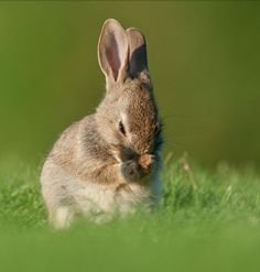 A brown rabbit rubbing its nose while it sits in green grass.  Unbelievably cute!