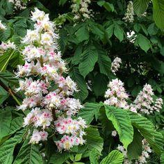 https://flic.kr/p/rwPYsZ | Horse chestnut flower - pretty. #upsticksandgo #travel #naturephoto #horsechestnut #flowers #travellingtheworld #michfrost #uk #explore