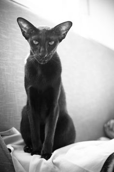and white classic photo portrait of a black oriental shorthair cat More at - Catsincare.com