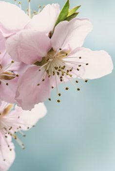 Blüte des Pflaumenbaums Plants, Pictures To Paint, Plum Tree, Textile Design, Lawn And Garden, Flora, Plant