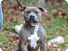 SAFE - Wainscott, NY - Anmal Rescue Fund, NO KILL, American Pit Bull Terrier Mix. Meet MAX, a dog  adoption. http://www.adoptapet.com/pet/11720445-wainscott-new-york-american-pit-bull-terrier-mix