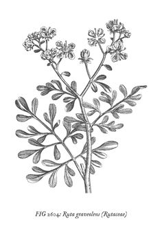 These free printables feature pictures of medicinal plants taken from a book published in printable vintage botanical wall art. These free printables featu. Vintage Botanical Prints, Botanical Wall Art, Vintage Art Prints, Vintage Wall Art, Free Printable Art, Free Printables, Printable Vintage, Art Prints For Home, Wall Art Prints