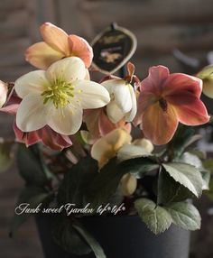 <i>Helleborus hybridus</i><BR><BR>クリスマスローズ<BR>『Candy Love』 | すべての商品