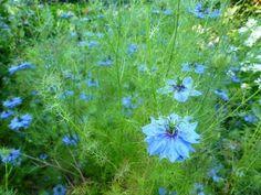 Nigella Plant | Nigella damascena (Love-in-a-mist)