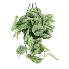 Epipremnum Trebie - Satin Pothos Trebie - Hanging 28 x House Plants Hanging, Hanging Pots, Diy Hanging, Ivy Plants, Small Plants, Planting Plants, Pothos Plant, Tall Planters, Blue Poppy