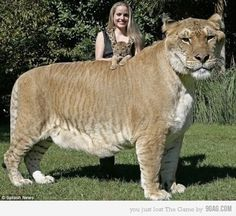 Liger, a hybrid cross between a male lion and a tigress. They occur only on captivity, due to the fact that their natural habitats simply do not overlap. The Liger is easily the largest of all animals found in the family felidae(cats)