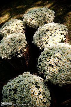 Margaridas, margaridinhas. decoração