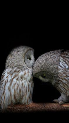 owls | 1080x1920 Wallpaper owl, couple, dark background, predators