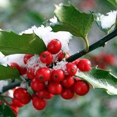Tree Lore: Holly