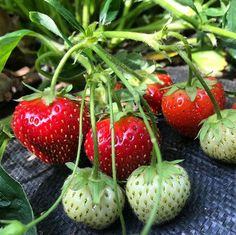 """Part 2 of our Strawberry tutorial is all about production planning. Head to our online Classroom to see exactly how we grow strawberries from start to finish. Just type """"strawberries"""" in the Classroom search bar and the post will pop right up for you. Production Planning, Canadian Prairies, Strawberry Patch, Online Classroom, Gardening Tips, Harvest, Grow Strawberries, How To Plan, Fruit"""