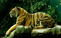 The tiger (Panthera tigris) is the largest cat species, reaching a total body length of up to 3.3 metres (11 ft) and weighing up to 306 kg (670 lb). Their most recognizable feature is a pattern of dark vertical stripes on reddish-orange fur with lighter underparts. They have exceptionally stout teeth, and their canines are the longest among living felids with a crown height of as much as 74.5 mm (2.93 in) or even 90 mm (3.5 in).   - Wikipedia