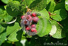 Saskatoon Berries After A Rainfall Stock Photo - Image of rain, raining: 46179600 Photo Link, Plant Leaves, Vectors, Berries, Sign, Stock Photos, Plants, Free, Image