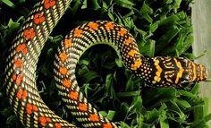 Kuala Penyu and the Paradisi Flying Snake!  #KualaPenyu #Paradisi #FlyingSnake  http://www.sandspice.com/kuala-penyu-flying-snakes/