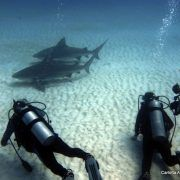 Scuba diving with bull sharks