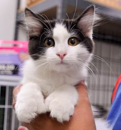 05/15/2016 ★SUPER URGENT *** KITTEN ALERT*** ★TO BE DESTROYED Carson Shelter Gardena, CA. ADOPT LOLA, only three months old, adorable, itty bitty, moppet Hemingway cat! Yup, she has extra toes. She is so cute, she just romps and plays and romps and plays. She is super affectionate and loves to cuddle, but mostly she wants to play.
