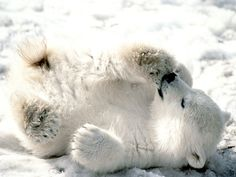 Playful Baby Polar Bear