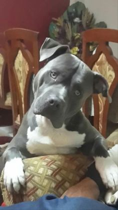 Pit Bull Puppies The 20 Most Adorable Pit Bull Puppy Pictures Ever 2018 2019 - Pitbull Lovers Amstaff Terrier, Terrier Dogs, Pitbull Terrier, Bull Terriers, Cute Puppies, Dogs And Puppies, Pet Dogs, Dog Cat, Doggies