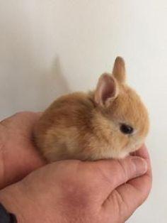 dwarf bunnies for sale . Baby Animals Super Cute, Cute Baby Bunnies, Cute Little Animals, Cute Funny Animals, Cute Bunny Pictures, Baby Animals Pictures, Cute Animal Photos, Fluffy Cows, Fluffy Animals
