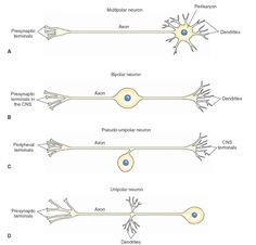 Different types of neurons. (A) Multipolar neuron. (B) Bipolar neuron. (C) Pseudo-unipolar neuron. (D) Unipolar neuron. CNS = central nervous system.