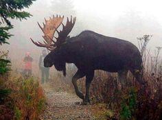 Big bull moose in Anchorage - He's beautiful!