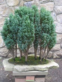 Cypress-bonsai. Chamaecyparis lawsoniana-Bonsai. Bonsai-art, bonsai-tree, bonsai