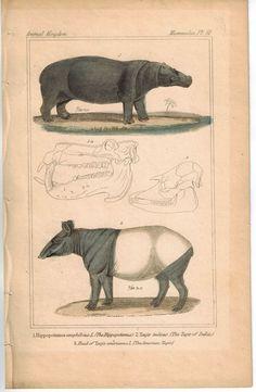 Hipo Hippopotamus & Tapir of India 1837 Antique Engraved Cuvier Print