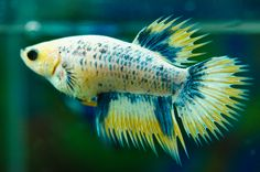 Grizzle crowntail female ...........click here to find out more http://googydog.com