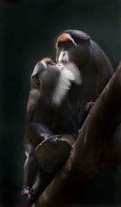 De Brazza's Monkey known as swamp monkeys. Cameron, Uganda, Angola, Kenya, Sudan - By Sue Demetriou Beautiful Creatures, Animals Beautiful, Cute Animals, Monkeys Animals, Los Primates, Photo Animaliere, Tier Fotos, All Gods Creatures, Cane Corso