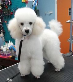All the things we enjoy about the Eager Poodle Puppies Perros French Poodle, French Poodles, Poodle Grooming, Dog Grooming, Pet Dogs, Dog Cat, Pets, Doggies, Cortes Poodle