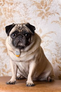 Cool Pug Dog images - http://www.7tv.net/cool-pug-dog-images-5/