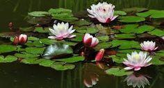 28. lunarni dan Lotos Desktop Pictures, Wallpaper Pictures, Background Pictures, Water Flowers, Water Lilies, Lily Garden, High Quality Wallpapers, Botanical Gardens, Beautiful Flowers