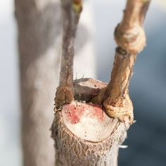 Learn how to graft fruit trees so that you can have multiple varieties on the same tree.