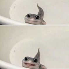 Issues With Keeping Lizards As Pets Cute Animal Memes, Animal Jokes, Cute Animal Pictures, Cute Funny Animals, Funny Cute, Cute Dogs, Animal Pics, Leopard Gecko Cute, Cute Gecko
