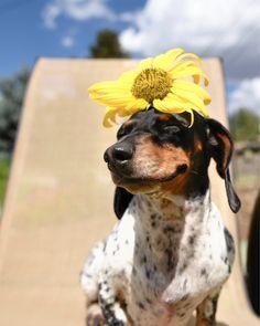 'Little Miss Sunshine' - Little Reese the Miniature Dachshund Puppy