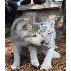 Baby Wolf and Baby Tiger.