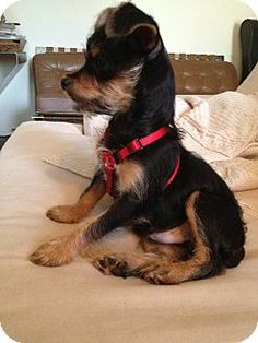 Los Angeles, CA - Yorkie, Yorkshire Terrier/Chihuahua Mix. Meet Tom a Puppy for Adoption.