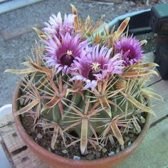 Ferocactus latispinus (Horse-Crippler Cactus, a beautiful cactus for specimen plantings. House Plants, Flower Pots, Plants, Cacti And Succulents, Cactus Plants, Flower Bookey, Cactus Types, Trees To Plant, Flowers