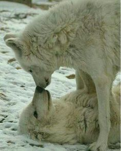 Wolves Are One Of The Many Animals That Choose A Mate For Life #wolf #wolves #wölfe