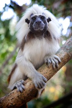 South american midget monkeys
