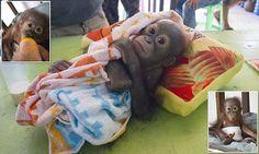Orangutan orphan left to die 'graduates from baby class'