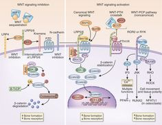 Image Result For Bmp Wnt Signaling Biology Development Pathways
