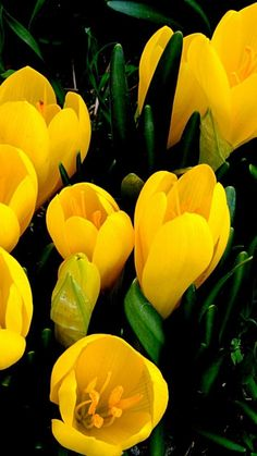 crocuses, yellow, primroses, spring, close-up