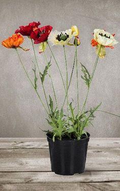Cultivar amapolas en maceta