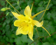 Golden Columbine- I have these ones, would love to get more colourful varieties.