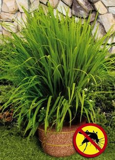 Lemongrass helps to keep mozzies away. Buy a mature plant from an Asian market or grocery store.