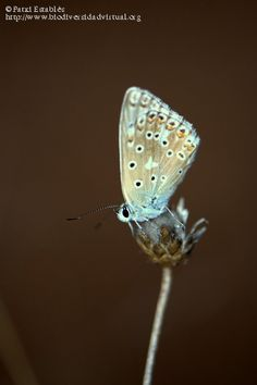 Polyommatus albicans