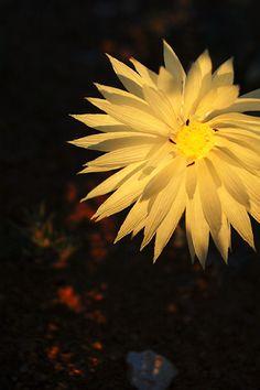 Everlasting Daisy, Carnarvon, WA - www.tracyryanphotography.com