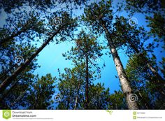 Canopy Of Pine Trees Stock Photo - Image: 53773562