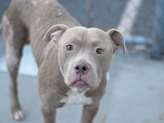 RETURNED AGAIN!!! SAFE 11/25/15 SUPER URGENT Brooklyn Center DONTE – A1053638 **RETURNED ONCE AGAIN 01/19/16** DONTE MALE, BROWN / WHITE, AM PIT BULL TER MIX, 5 yrs RETURN – ONHOLDHERE, HOLD FOR ID Reason PETS CONFL Intake condition UNSPECIFIE Intake Date 01/19/2016, From OUT OF NYC, DueOut Date 01/19/2016,